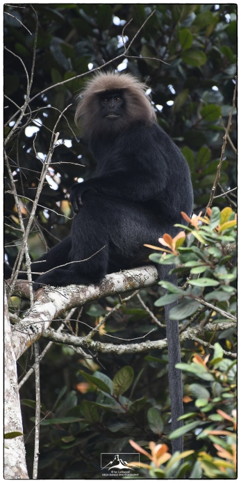Nilgiri langur (Trachypithecus johnii) at Pampadum National Park.