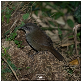 Sri Lanka Bush Warbler (Elaphrornis palliseri) at Horton Plains National Park