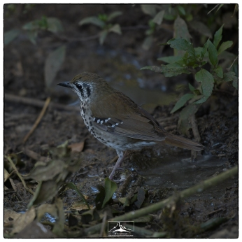 Spot Winged Thrush (Geokichia spiloptera) at Horton Plains National Park.