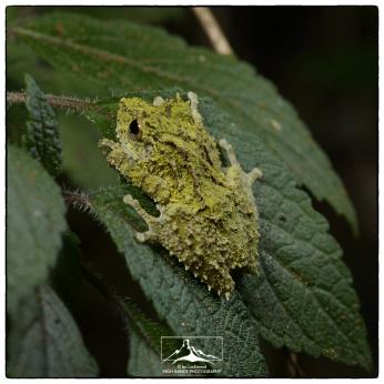 (Pseudophilautus schmarda) at St. Andrews/Pidurutalagala.
