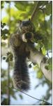 Giant Grizzled Squirrel (Ratufa macroura) near to Belihuloya.