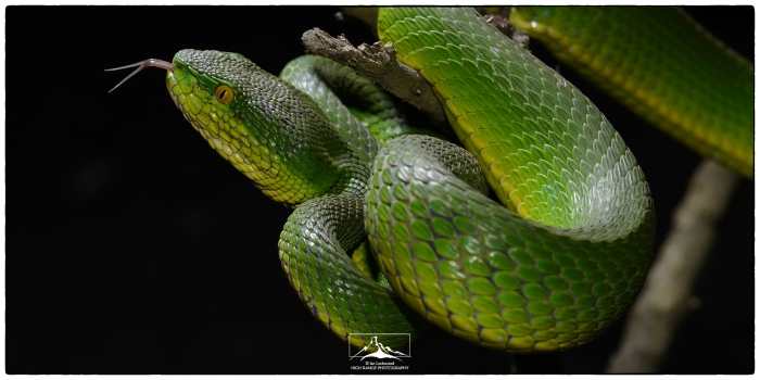 Trimeresurus_erythrurus_tongue_1a(MR)(01_17)