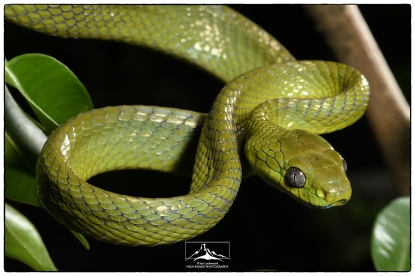 Green Cat Snake (Boiga cyanea) in Aizawl. (July 2018)