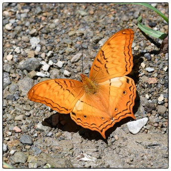 Butterfly (to be identified) on the road to ReiEk.