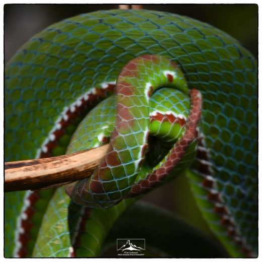 Tail detail of Pope's Pit Viper (Trimeresurus popeiorum) at Mizoram University's Department of Zoology (July 2018).