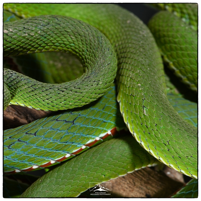 Trimeresurus_scales_at MZU_1a(MR)(07_18)