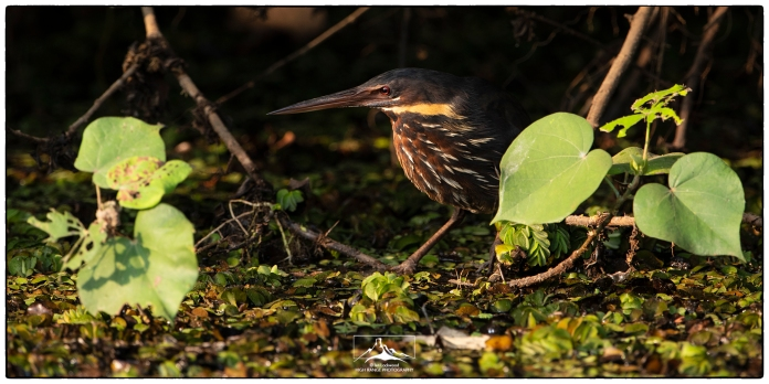 Black Bittern (Ixobrychus flavicollis) at Nugegoda Wetland Park (17 March 2019).