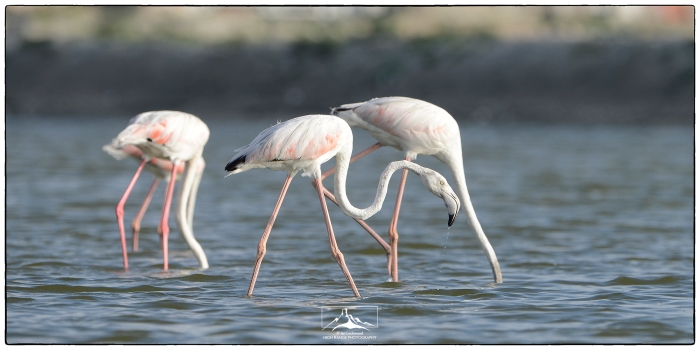 Phoenicopterus_roseus_at_Mannar_1a(MR)(12_17)