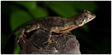 Sri Lankan Kangaroo Lizard (Otocryptis weigmanni), Sinharaja (west). This is one of the most frequently encountered lizards in the forest.