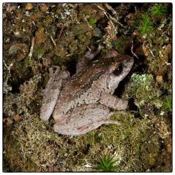 Horton Plains Shrub Frog (Pseudophilautus alto) at Nuwar Eliya.