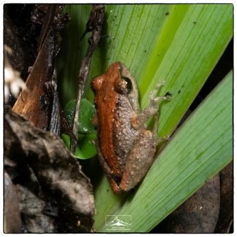 Small Eared Shrub Frog (Pseudophilautus microtympanum) Pseudophilautus_microtympanum