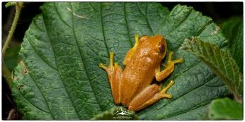 Dull Green shrub Frog (Pseudophilautus viridis) at Nuwara Eliya.