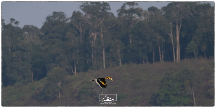 Buceros_bicornis_in_flight_Valparai_1a(MR)(04_19)