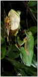 Rhacophorus_malabaricus_pair_2a(MR)(06_19)