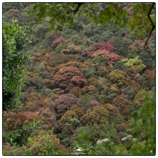 Montane forest with a new flush of leaves on the trial down from Sri Pada. A composite of three images. (January 2020)