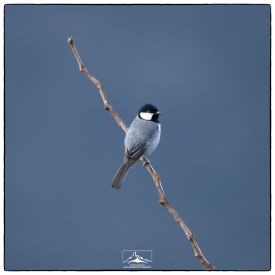 Great Tit (Parus major) at the summit of Sri Pada. (January 2020)