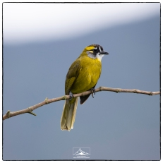 Yellow Eared Bulbul (Pycnonotus penicillatus) at a tea khadi on the steps down from the summit of Sri Pada. (January 2020)