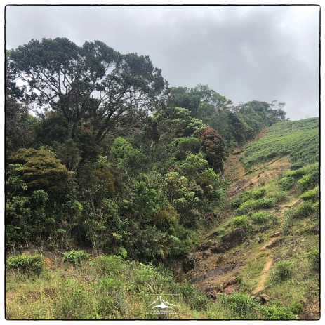 Tea estate edge with montane forest edge. (January 2020)