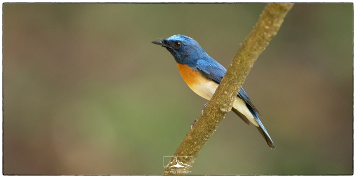 "A male Blue-throated flycatcher (Cyornis rubeculoides) at Thattekad. Photographed at KV Eldhose Kv's ""flycatcher hide"" in December."