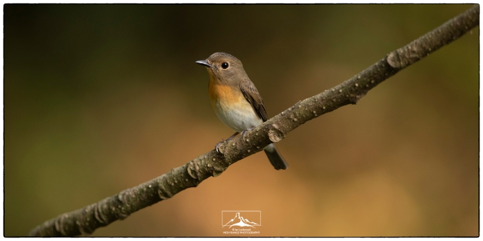 "A female Blue-throated Flycatcher (Cyornis rubeculoides) at Thattekad. Photographed at KV Eldhose's ""flycatcher hide"" in December."