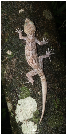 Knuckles or Dumbara Bent Toe Gecko (Cyrtodactylus soba) located by our guide KC.