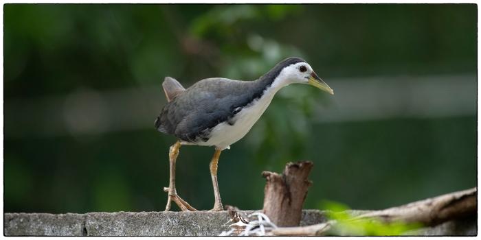 Amaurornis_phoenicurus_at_EG_2a(MR)(04_20)
