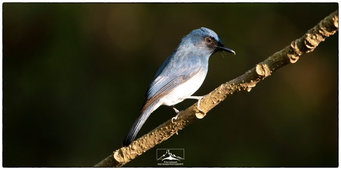 "White-bellied Blue Flycatcher (Cyronis pallipes).Photographed at KV Eldhose Kv's ""flycatcher hide"" in December."