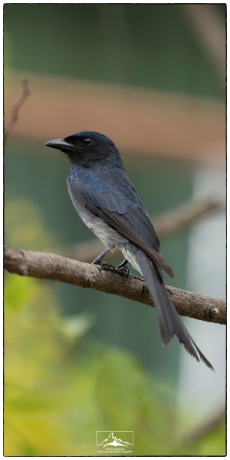 White-bellied Drongo (Dicrurus caerulescens), one of the most frequently encountered birds in Eden Gardens. They have a habitat of mimicking other birds and an individual living at our house has been able to do a rendition of our cat's meow!