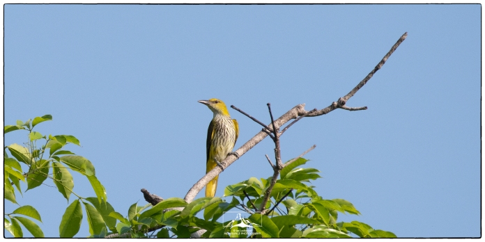 Indian Golden Oriole (Oriolus kundoo) at Eden Gardens. Photographed from our bathroom window on March 28th 2020.