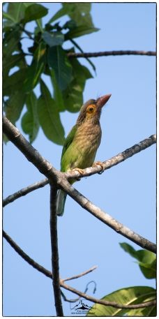 Brown Headed Barbet (Psilopogon zeylanicus) a bird that provides the pleasant drone of the forest in our suburban environment.