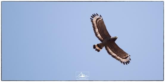 Crested Serpent Eagle (Spilornis cheela) above Eden Gardens.