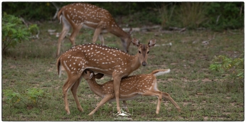 Spotted deer (Axis axis) at Wilpattu National Park. Their numbers and those of the leopards that depend on them are recovering now that their habitat is not a contested battlefield.