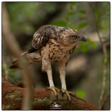 Crested Hawk Eagle (Nisaetus cirrhatus) at Wilpattu National Park.