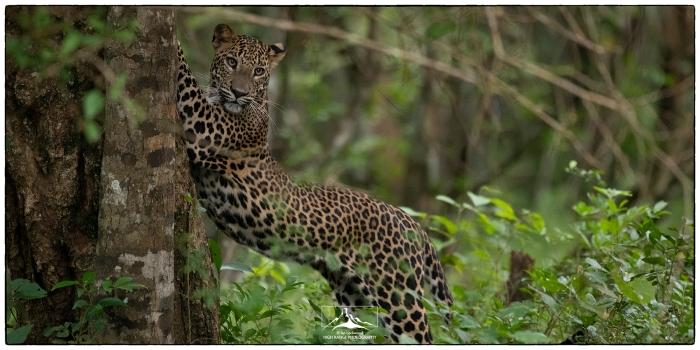 Panthera_pardus_stretch_at_Wilpattu_3a(MR)(07_2)